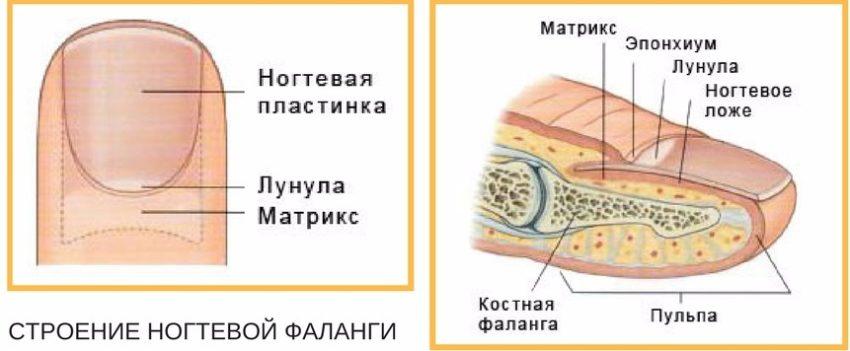 анатомия ногтевой пластины