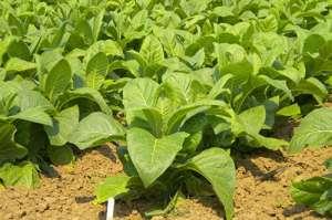 Табак сорта Вирджиния