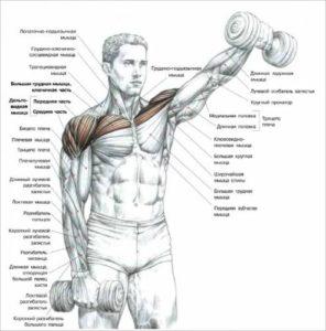 подъем гантелей перед собой для мышц плеча