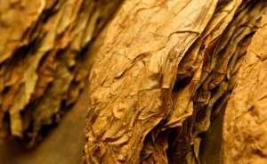 покрывной лист табака