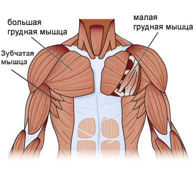 упражнения на мышцы грудной клетки