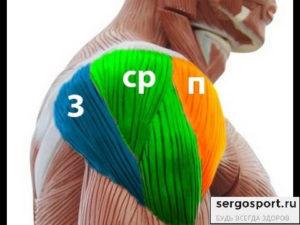 анатомия плечевых мышц