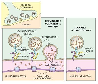 механизм действия ботулотоксина