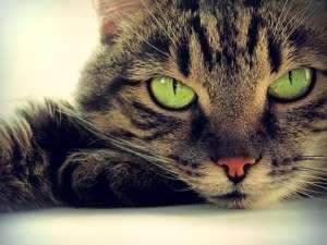 анемия кошек