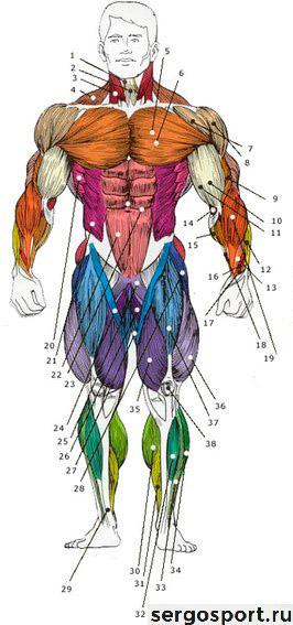 рисунок мышц для бодибилдинга