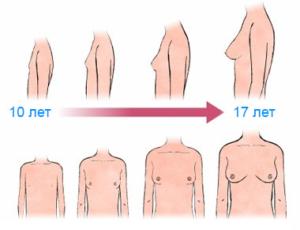 Стадии формирования груди